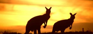 Canguri-Australia-tramonto