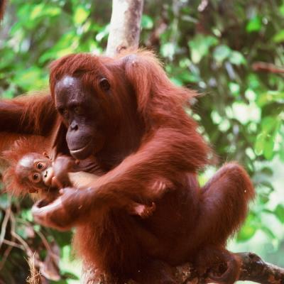 Indonesia-mamma-orango-con-il-suo-piccolo