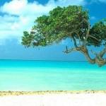 aruba-mare-albero divi-divi-Caraibi-10